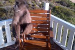 Pringle Bay Baboons